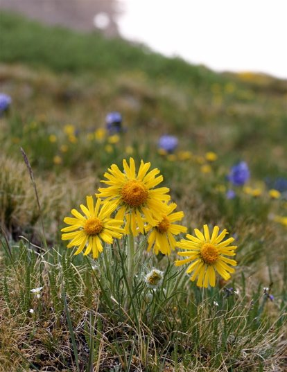 The Alpine Sunflower is a tundra flower sure to please.