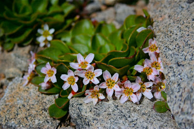 Alpine Springbeauty is a common flower at the top of Colorado Mountains.