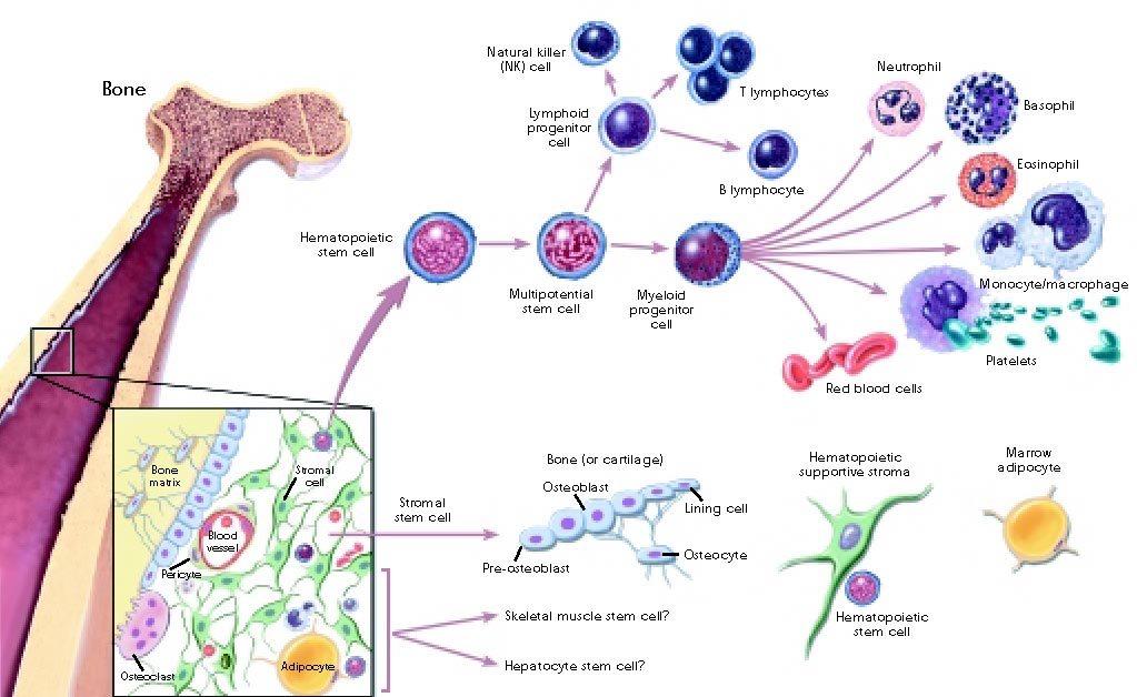 Stem cell enhance benefits bensifts of afa extract and the very bensifts of afa extract and the very real business oppurtunities malvernweather Image collections