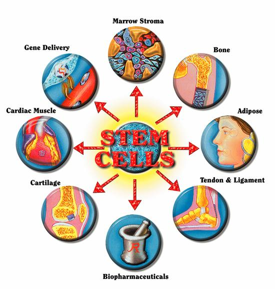 What Is Stem Exactly: Stem Cell Enhancer