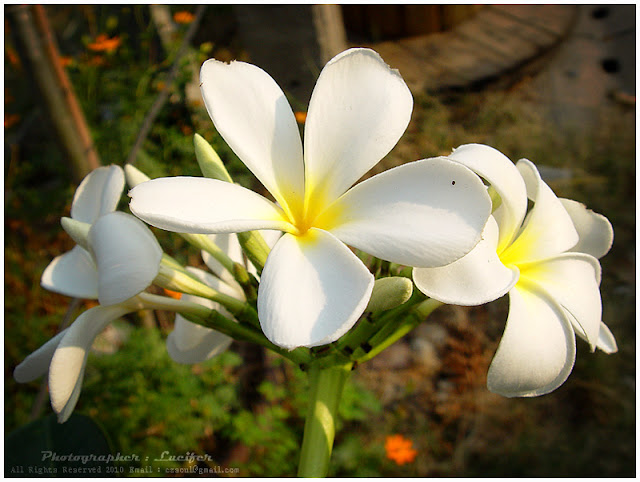 Photograph Flower Camera plumeria