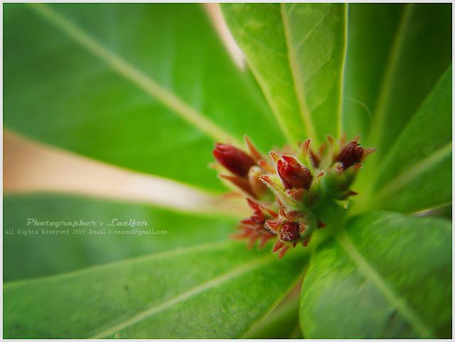 Photograph Flower Adenium blooming