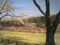植物園東門手前の桜