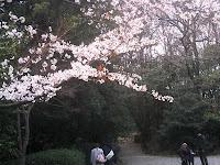 岩崎城内のサクラ