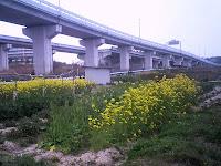 高速道路と菜の花