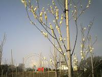 モリコロパークの桃