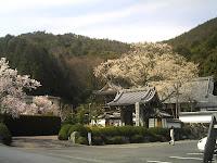 真禅寺の老桜(樹齢200年?)