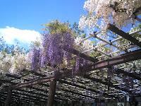 白&紫のフジ
