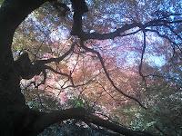 巨木モミジの見事な枝ぶり