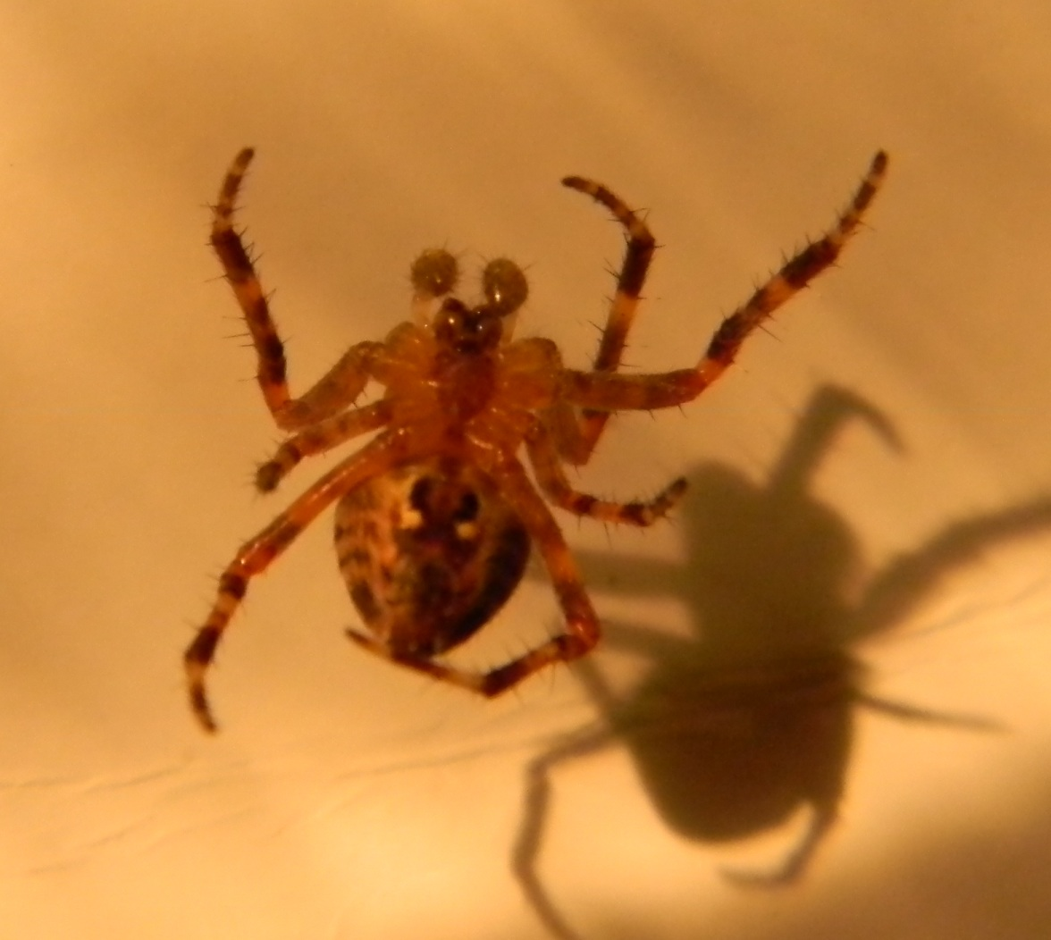 Orb Weaver | Michigan Spiders
