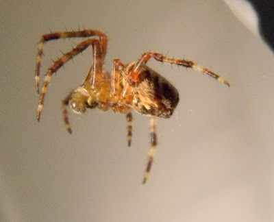 Michigan Spiders - Orb Weaver-3