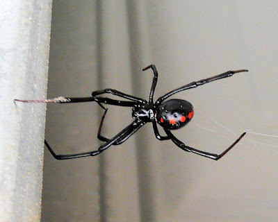 Michigan Spiders - Northern Black Widow Spider-1