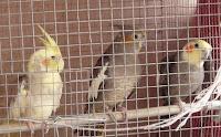 cockatiel bird cage
