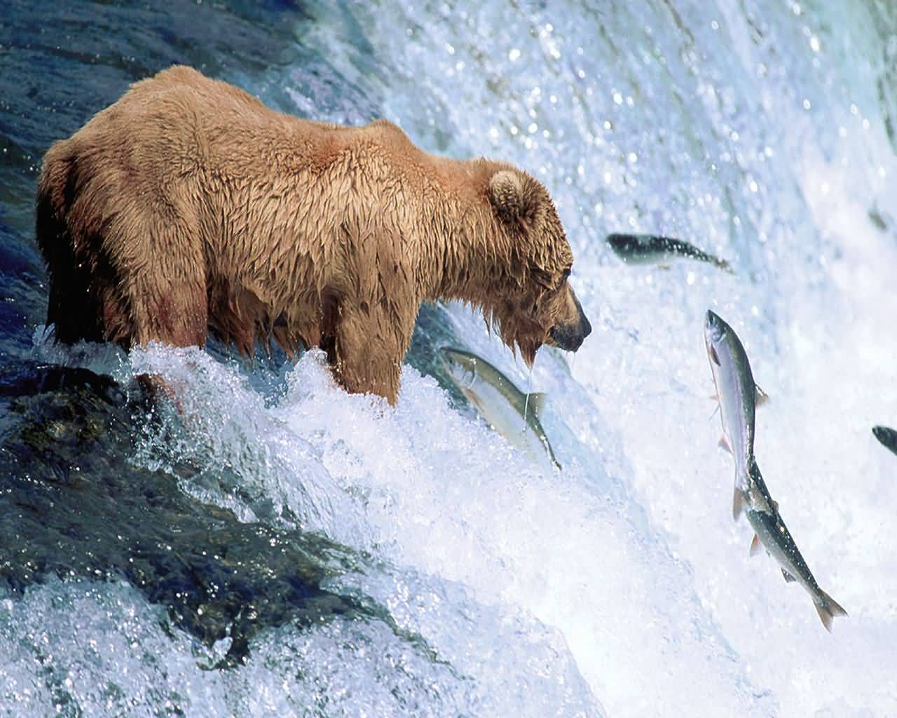 Grizzly Bear Gone Fishing