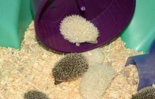 [Image: hedgehog-babies22.jpg]