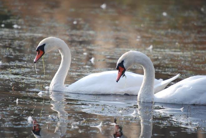 lebada comuna, Mute swan, Cygne tubercule, Hockerschwan, Butykos hattyu