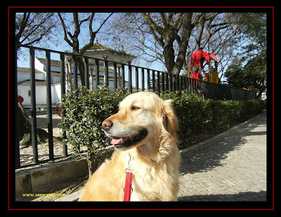 golden retriever in alcochete