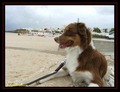 pastor australiano na praia da luz