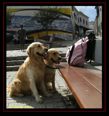 Two Golden Retriever in Monchique, Algarve