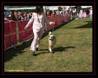 Pastor Australiano na Exposição Canina Lisboa