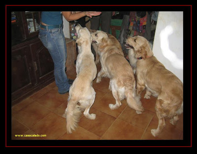 Golden Retriever Dog Party
