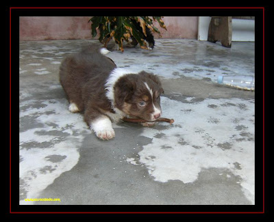 australian shepherd puppies first time out