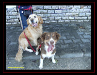 Australian Shepherd and Golden Retriever