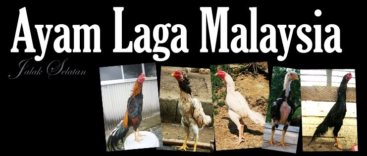 Ayam Laga Malaysia