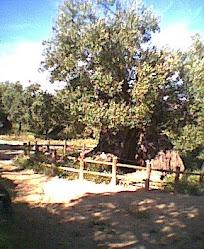 Camps d'oliveres