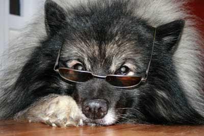 Hund med solbrilla