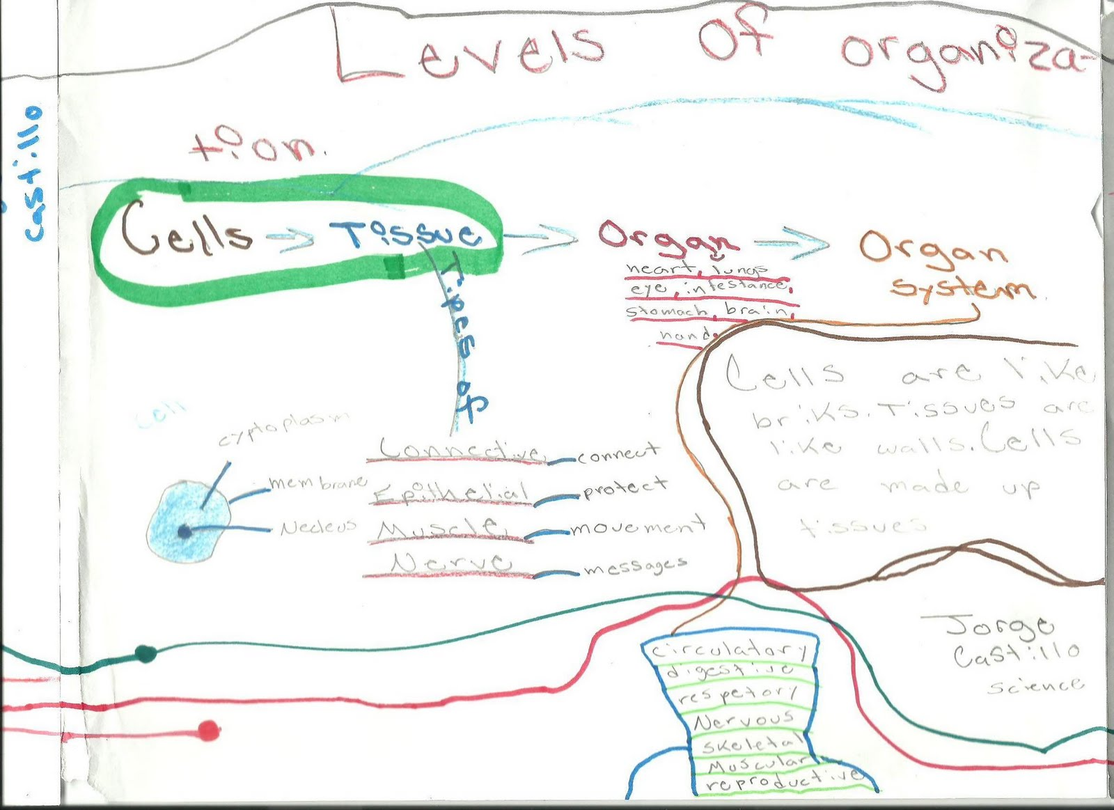 Mr Schriner Science: Levels of Organization MindMap