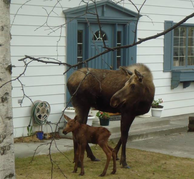 [moose1]