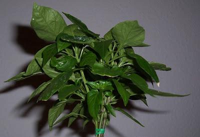Aktuelle Bilder der Naga Jolokia Bonsai Chili Pflanze
