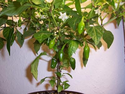 Black Pequin Früchte klein