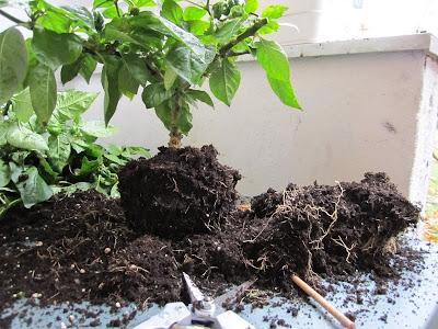 chili bonsai wurzeln
