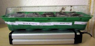 chili anzucht 2011