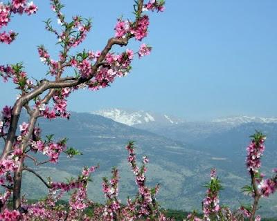 Цветение персика в горах.