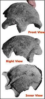 Brazilian Erectus skull