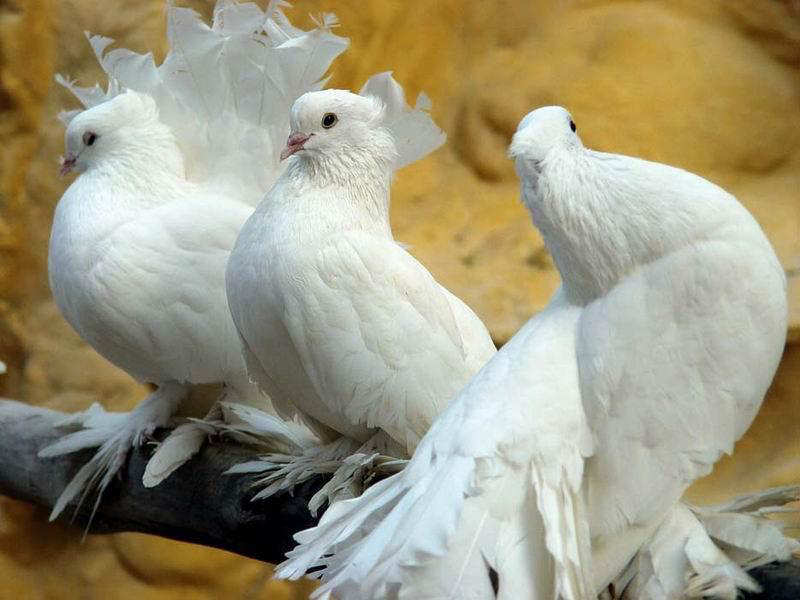 You2Bwill2Bnever2Bfind2BROyal2BPigeons2Bas2BBeautiful2Bas2Bthis2B 11  - Royal Pigeons : Beautiful