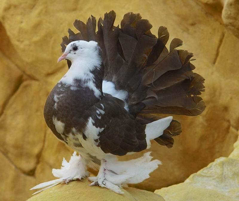 You2Bwill2Bnever2Bfind2BROyal2BPigeons2Bas2BBeautiful2Bas2Bthis2B 7  - Royal Pigeons : Beautiful
