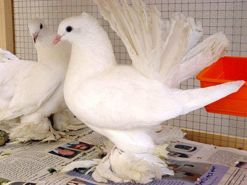 You2Bwill2Bnever2Bfind2BROyal2BPigeons2Bas2BBeautiful2Bas2Bthis2B 5  - Royal Pigeons : Beautiful