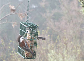 Chestnut-backed Chickadee