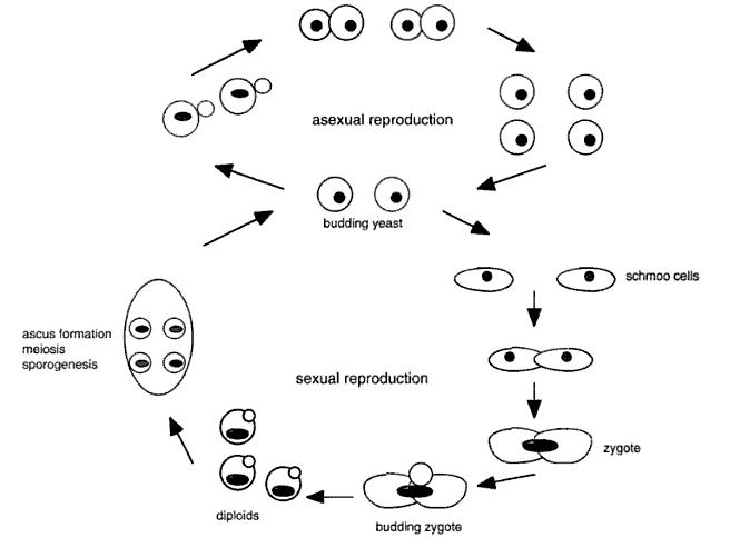 the process of sexually reproduction between stains of yeast The most dangerous thing about chlamydia when transmitted sexually is that 75% of a j et al evidence for association between chlamydia psittaci.