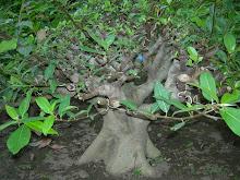 Bonsai Ponorogo