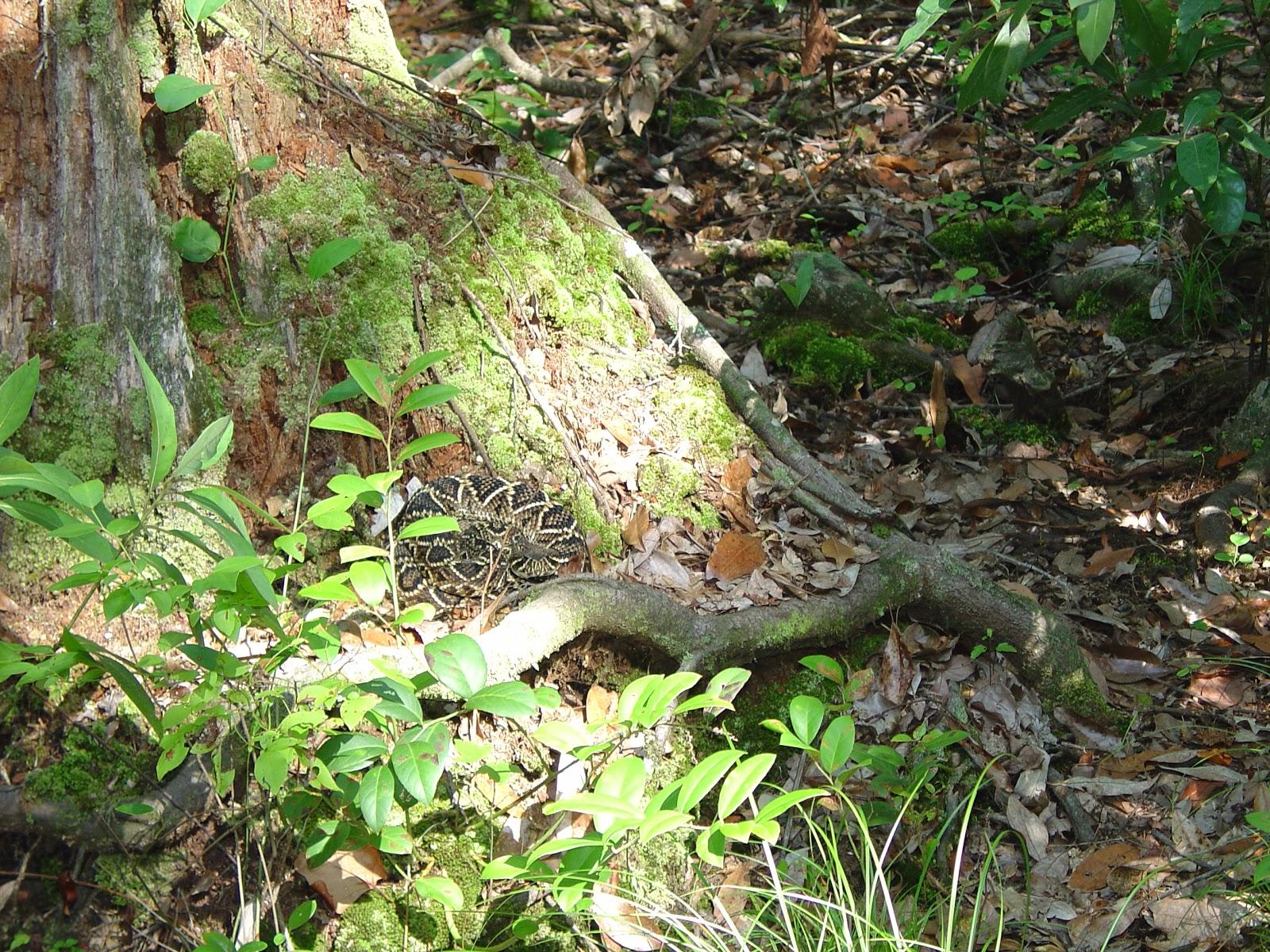 Living Alongside Wildlife: Rattlesnakes: Finding Their Poise and ...