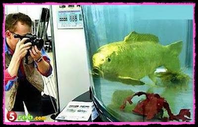 ikan emas betul-betul emas