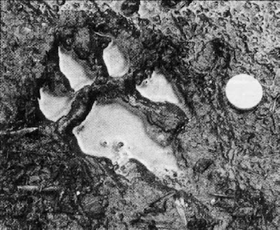 Tracks of the Beast? The ten pence coin shows the scale of this paw-print.