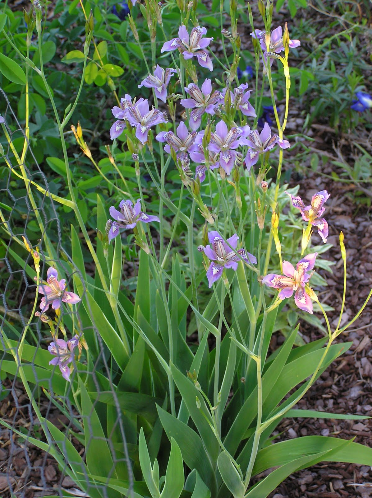 All The Dirt On Gardening Vesper Iris Pardanthopsis Dichotoma Plus
