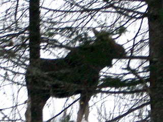 Moose - Rangeley, Maine