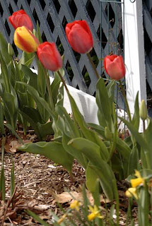 tulips, Brewster House, Freeport Maine